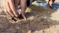【汤氏渔具】可乐+糖果抓一大筐鳝鱼