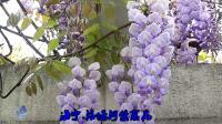 舞曲《紫藤花开》.海宁洛塘河畔紫藤花2020-04-18