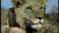 动物之 【狮子成年之前要饱受对抗 羞辱和危险】