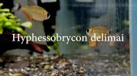 红翅琥珀 / hyphessobrycon delimai 雄鱼夸示