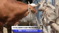 牛采食过量精料引起酸中毒的救治案例