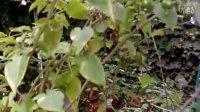 神秘的红豆树