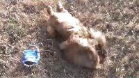 【萌犬仁球】很有爱哦!看狗狗如何表达内心喜悦