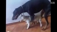 【每日奇葩】色狗的视频,大狗强奸小狗