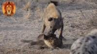 狮子被鬣狗咬死!大哥跟二哥打起来了,狗咬狗进行时