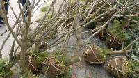 出售大桑葚果树苗,3年4年桑树,果桑苗,地径4公分以上桑葚树