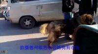 藏獒与牧羊犬的决斗