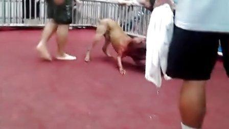 真诚;淮南老虎终结一代名犬重炮