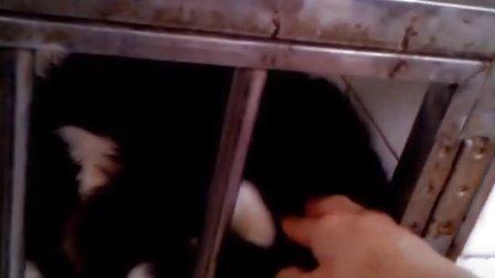 凶恶的灰狼-20130217