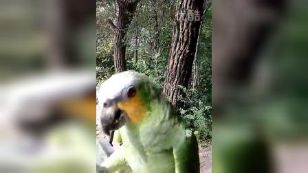 亚马逊橙翅鹦鹉