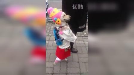 这个狗无敌了,小红帽,白T桖,红裙子,竟然背着书包去上学,走起路来有模有样