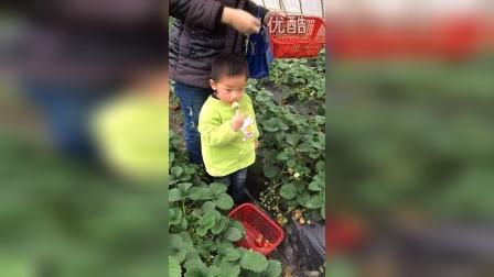 2015.1.11pm 3:33俊小宝采摘草莓不分青红皂白
