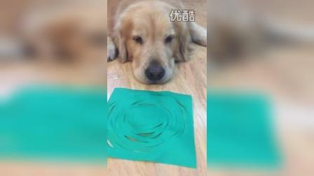金毛七宝的视频 2015-05-28 19:13