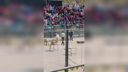 VID_20150406_野生动物园狮表演