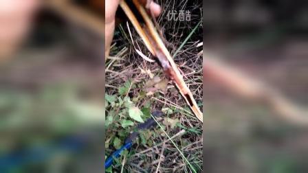 求购斗米虫,看视频有操作方法