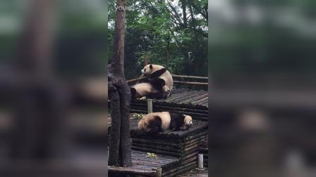 大熊猫poop