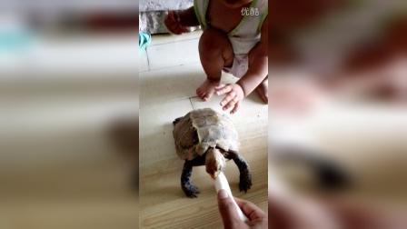互动很棒的凹甲陆龟