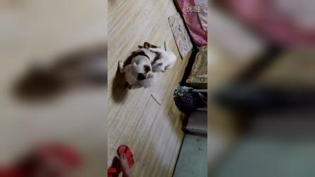 小白猫和豆豆玩耍