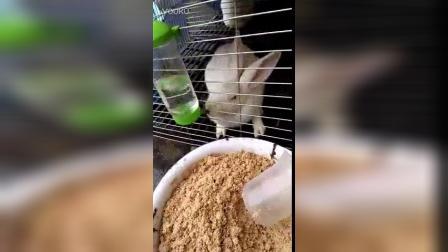 小兔子喝水