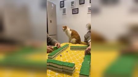为了引起打牌的人类注意,猫咪实在是太为难自己了
