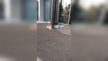 这只橘猫,没事就来酒店门口免费美甲,太会玩了