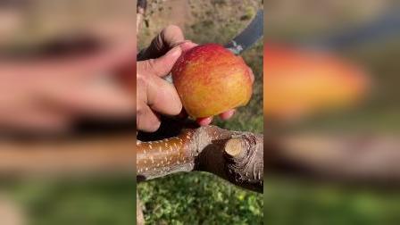 这个糖心苹果是真好吃,虽然不怎么好看,但是甜呀
