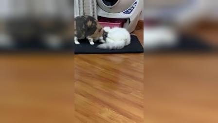 小猫咪这样会不会变秃头?