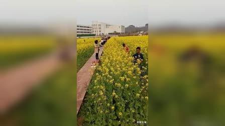 城市里的油菜花(三)
