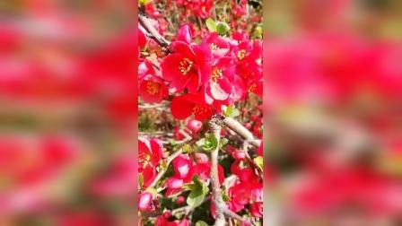 欢乐歌——牛年春光无限好,鲜花盛开歌声飘。春节灯节过着美,小康路上笑开颜!