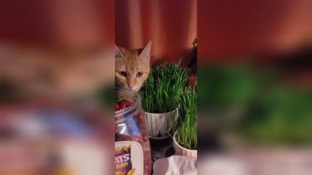 小猫吃麦苗1