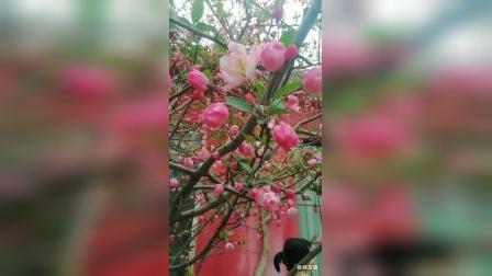 赞绿城第十二届海棠文化节——  一年一度碧沙岗,海棠花开心向往。鼠年万众齐抗疫,牛岁赏花尽情逛。亿万花开龙抬头,六千海棠忒俊朗。海棠花艳领风骚,人生奋进迎辉煌!