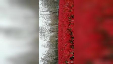 祖国颂——你看,花儿芬芳,红叶灿烂;春光,如此美妙,谁不珍惜?……