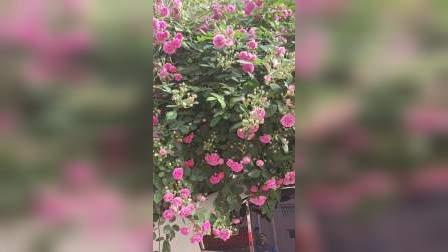 蔷薇花车篷……
