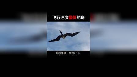 飞行速度最快的鸟,赶超中国高铁