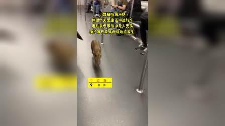 香港小野猪地铁狂奔 还中途转车