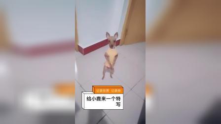 鹿狗 鹿犬