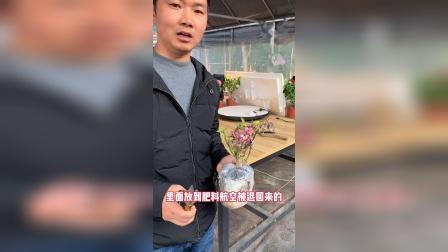 三角梅修剪介绍.MP4