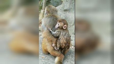 调皮的小猴子,从臭水沟了出来就趴在妈妈的背上