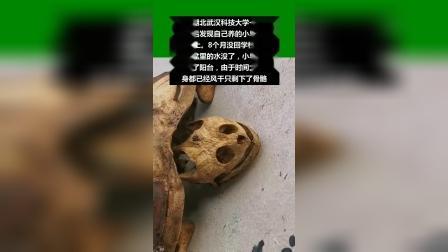 武汉大学生离校8月小乌龟晒成乌龟干,骨骼完全,仍保持爬行姿势