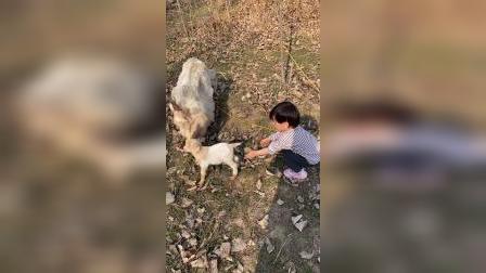 童年趣事:小武在玩小羊哈哈