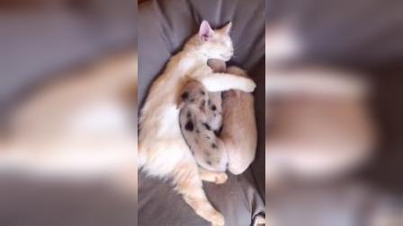 猫咪:小猪仔们,过来我这躺
