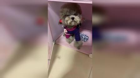 主人给狗狗找对象,瞧它的反应太可爱了