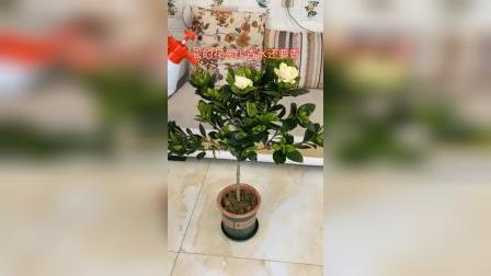开箱:家里养一颗栀子花,满屋都是香的#好物推荐