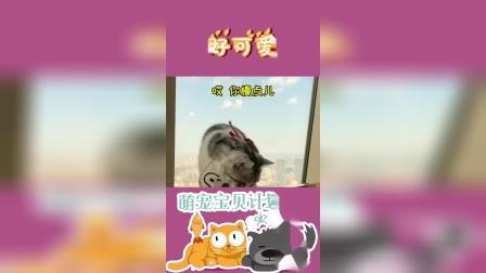 败家猫游上海,居然窝在酒店不离开