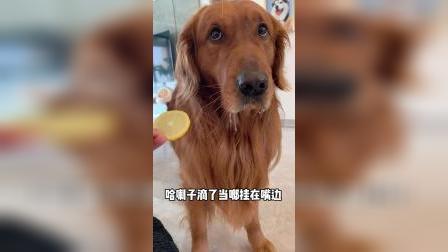 看看不同狗狗吃柠檬会做出各种怎么样的反应