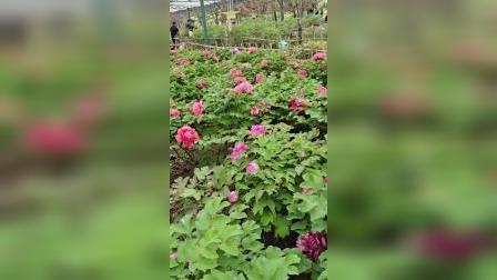 洛阳牡丹甲天下……神州牡丹园2021.4.11