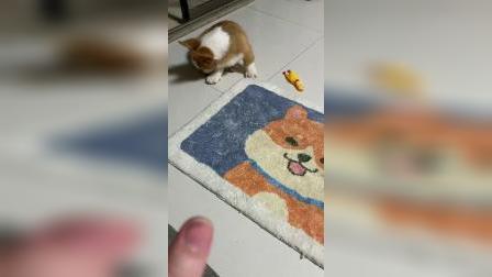 柯基生活:当妈妈手受伤了,狗子的反应!