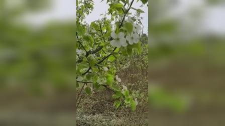 2021.4.21梨树2