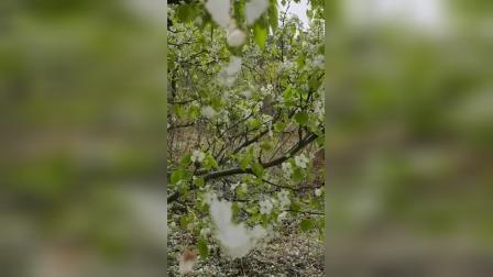 2021.4.21梨树3