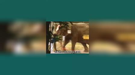 马戏大象受虐21年,看完我哭了